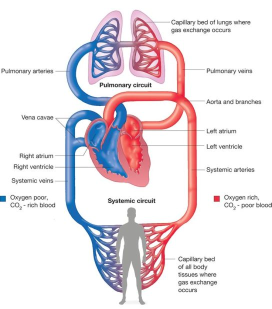 21.1 การสร้างความแข็งแรงของระบบหัวใจและหลอดเลือดในนักวิ่ง - 2