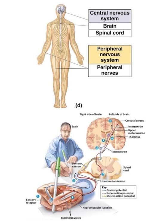 43 - 1 การต่อสายไฟให้กับระบบประสาท 2